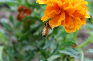 One of my bees on a marigold.