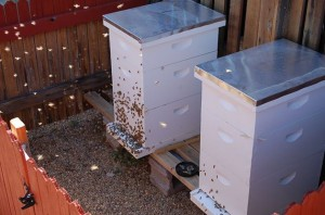 My two hives in my backyard.